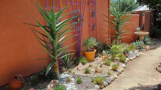 Originating from the coastal central Africa region and South Africa, Aloe Hercules is a hybrid tree